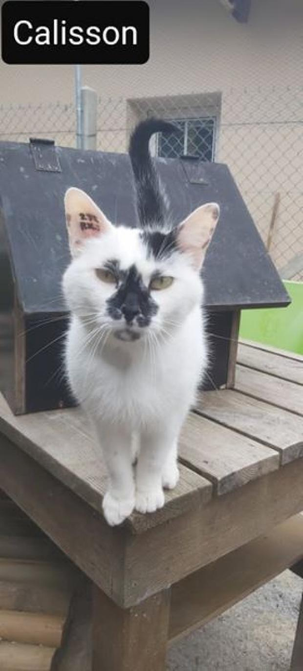 Adopter calisson, chat europeen male de 3 ans