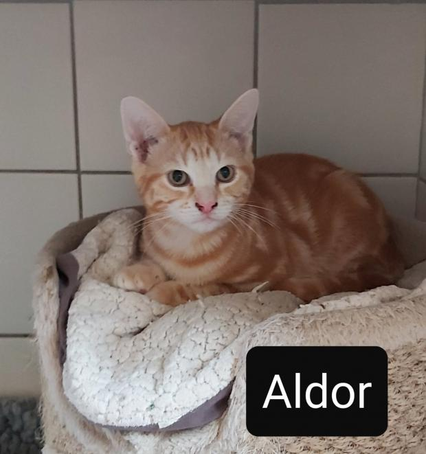 Adopter ALDOR, chat europeen male de Moins d'un an