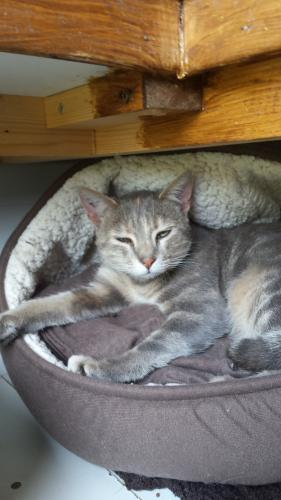 Adopter SHIREL, chat europeen femelle de 6 ans