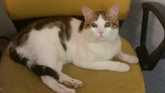Adopter TIAGO, chat europeen male de 3 ans