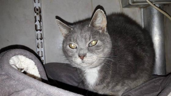 Adopter ORUS, chat europeen male de 9 ans