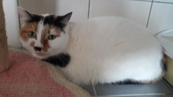 Adopter CHIPIE, chat europeen femelle de 4 ans