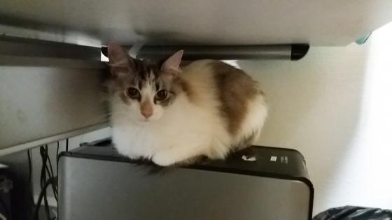 Adopter CALINE, chat europeen femelle de 2 ans