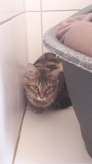 Adopter LILOU, chat europeen femelle de 1 an