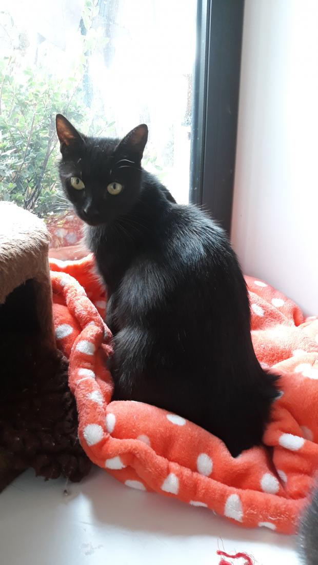 Adopter FELICIE, chat femelle de 2 ans
