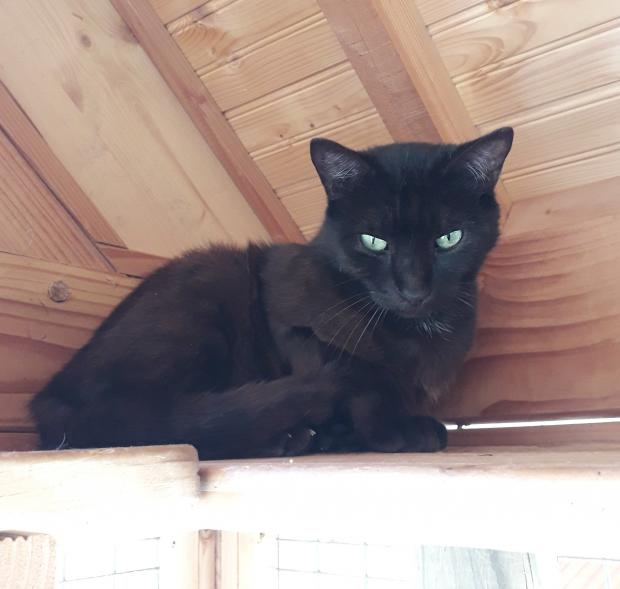 Adopter SIMBA, chat male de 4 ans