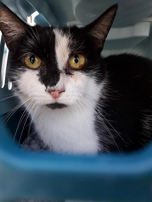 Adopter Nigane, chat femelle de 5 ans