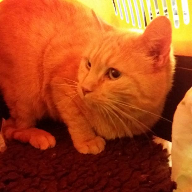 Adopter Ninou, chat male de 6 ans