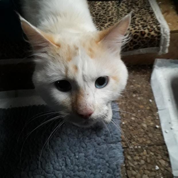 Adopter CREME, chat male de 2 ans