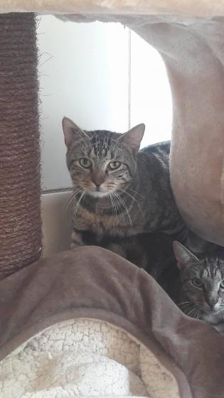 Adopter MOWGLIE, chat europeen male de 4 ans