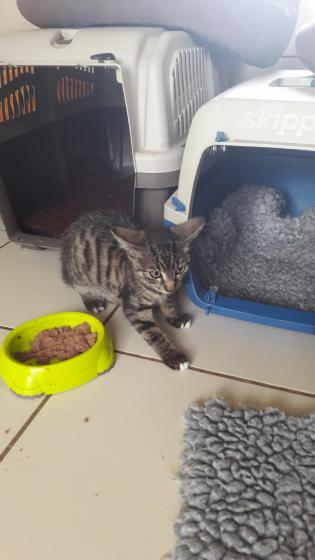 Adopter KATARA, chat europeen femelle de 1 an