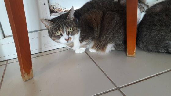 Adopter CASSIOPEE, chat femelle de 5 ans