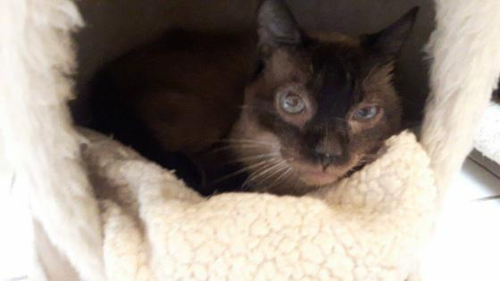 Adopter AMOSIS, chat siamois male de 9 ans