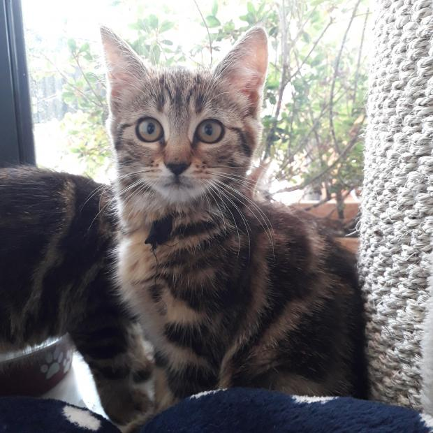 Adopter HOLLY, chat europeen femelle de Moins d'un an