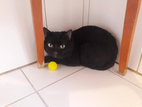 Adopter DARYL, chat male de 3 ans