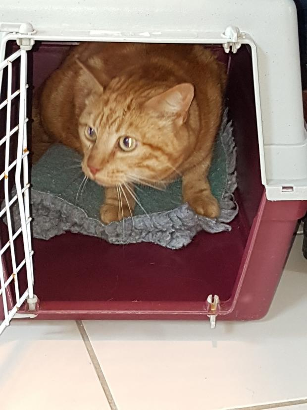 Adopter GENEPI, chat europeen male de 8 ans