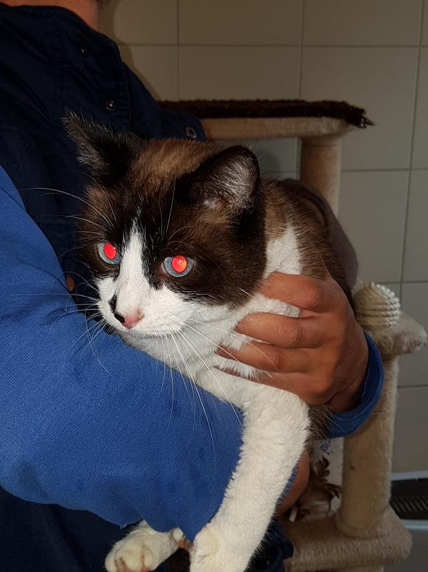 Adopter VISON, chat siamois male de 5 ans