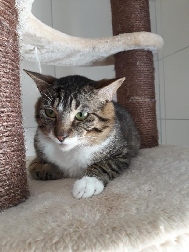 Adopter MINK, chat europeen male de 5 ans
