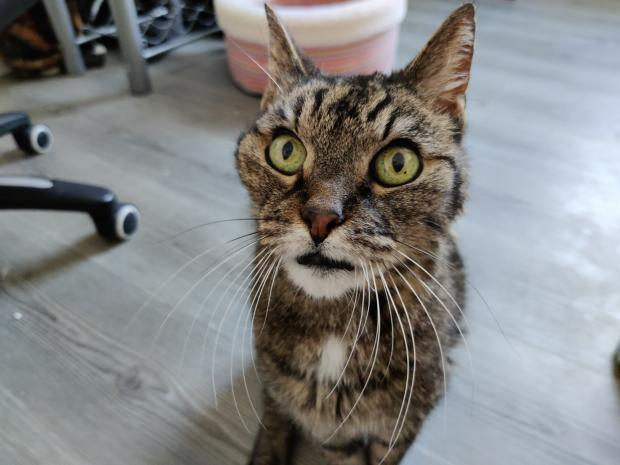 Adopter TROIS PATTES, chat europeen male de 16 ans