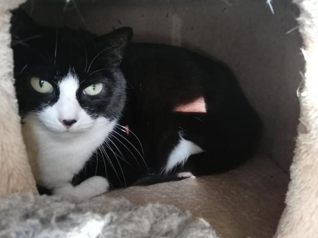Adopter IKE DIT KINOU, chat europeen male de 6 ans