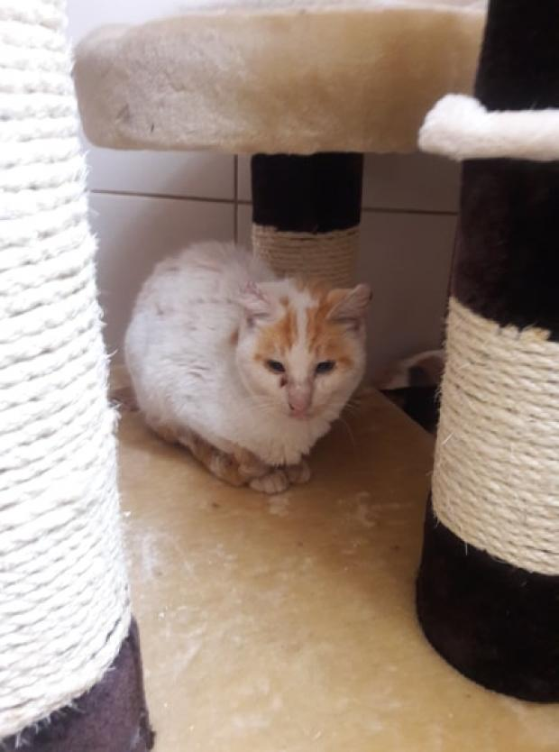 Adopter BELLEY, chat male de 8 ans