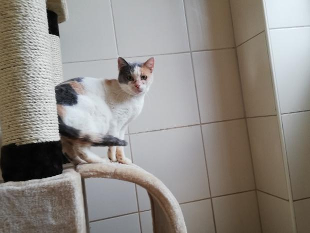 Adopter NATTAGES, chat europeen femelle de 8 ans