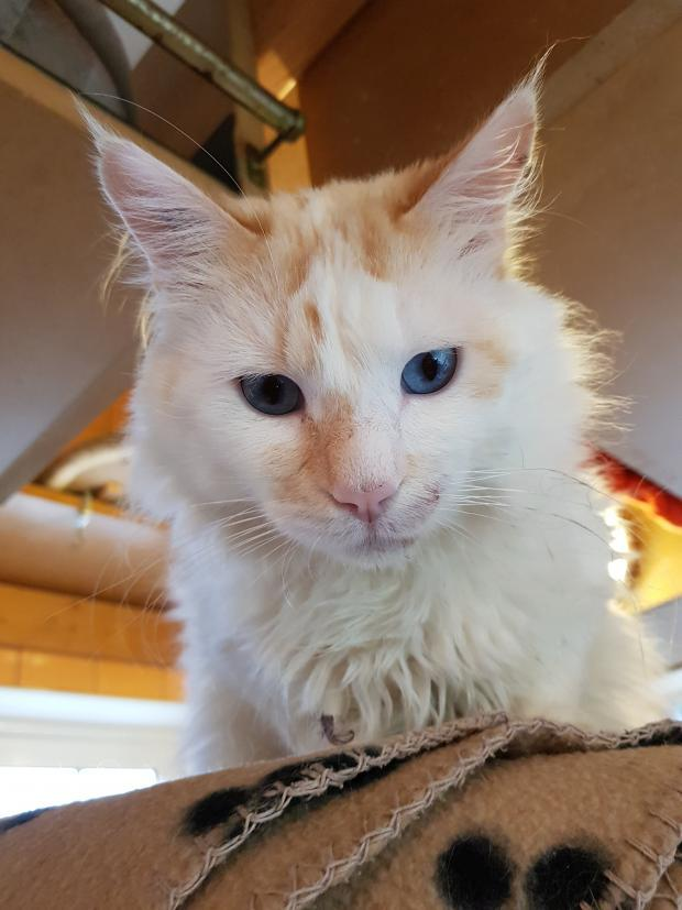 Adopter CREME, chat male de 3 ans