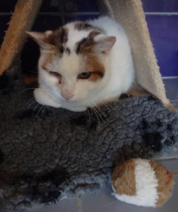 Adopter ORLANDO, chat male de 9 ans