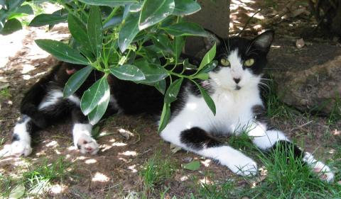 Adopter ALTO, chat europeen male de 15 ans