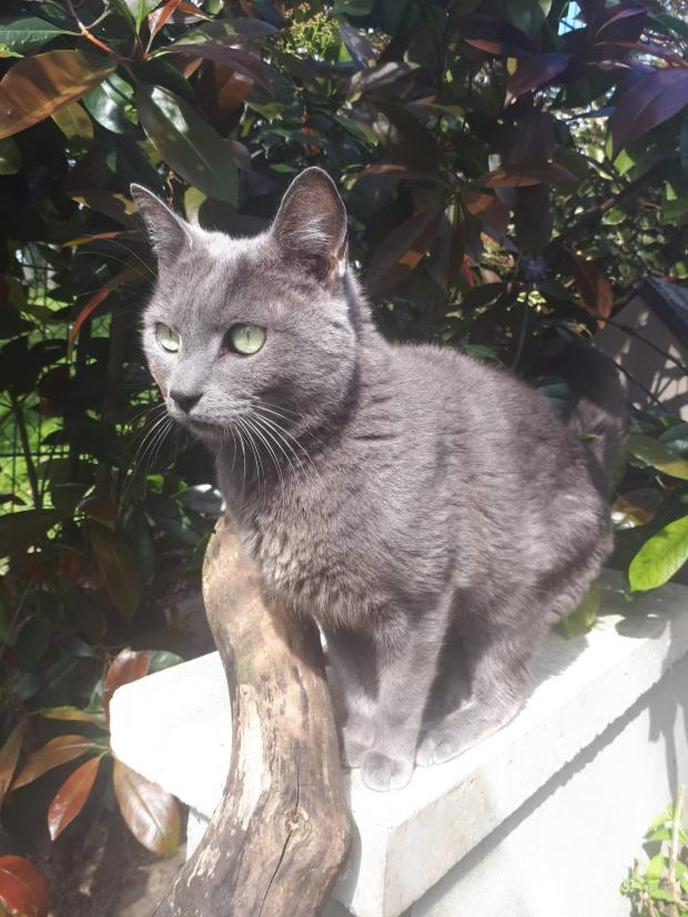 Adopter ARDOISE, chat chartreux male de 6 ans