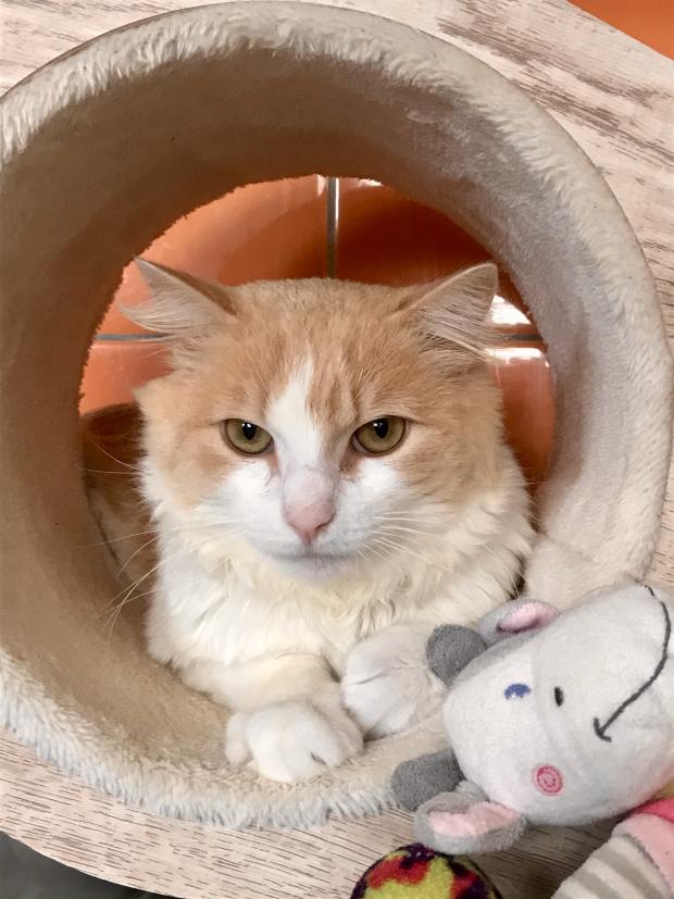 Adopter AVRIL, chat male de 3 ans
