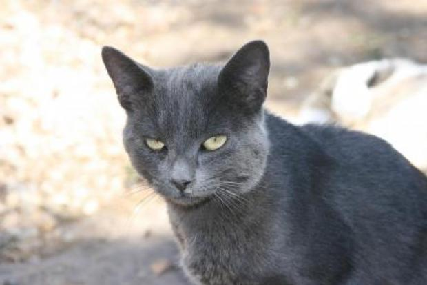 Adopter AIR BAG, chat chartreux male de 9 ans