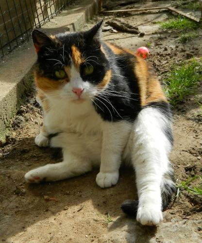 Adopter ALICE, chat europeen femelle de 12 ans