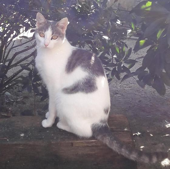 Adopter ANNA, chat europeen femelle de 1 an