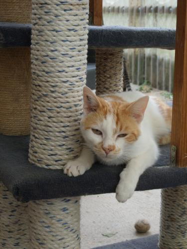 Adopter APOLLON, chat europeen male de 5 ans