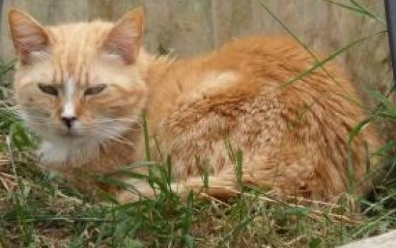 Adopter ARIZONA, chat europeen femelle de 8 ans