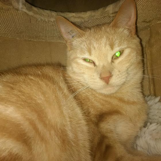 Adopter Bart, chat male de 1 an