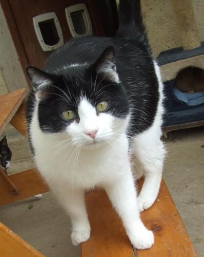 Adopter BIJOU, chat europeen male de 7 ans