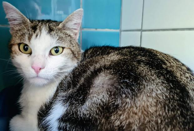 Adopter BISOU BISOU, chat male de 2 ans