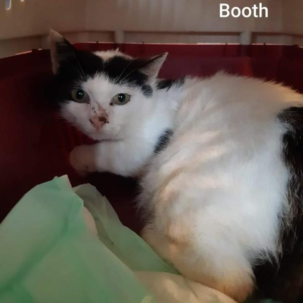 Adopter BOOTH, chat europeen male de 5 ans