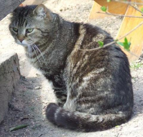 Adopter BALOO II, chat europeen male de 10 ans