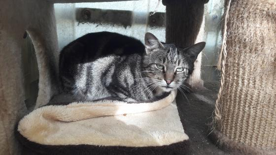 Adopter BALTUS, chat europeen male de 8 ans