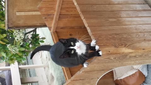 Adopter BANDIT, chat europeen male de 7 ans