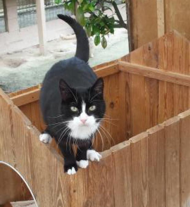 Adopter BANDIT, chat male de 9 ans
