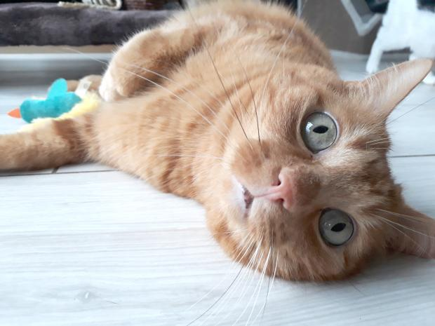 Adopter BENJI, chat europeen male de 7 ans