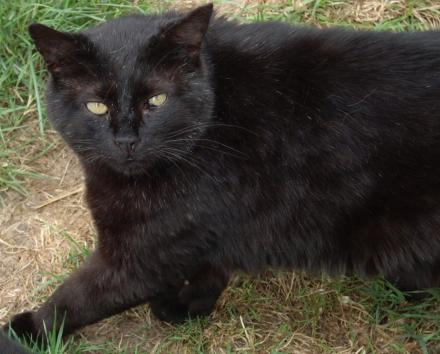 Adopter BERLIOZ, chat male de 17 ans