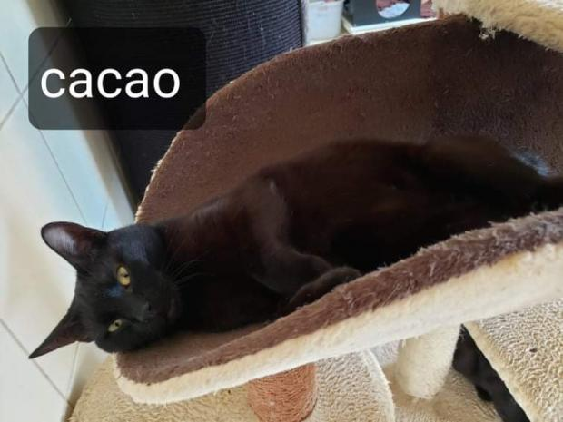Adopter CACAO, chat male de 21 mois