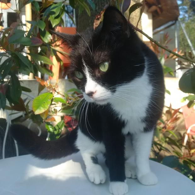 Adopter CALIN, chat europeen male de 5 ans