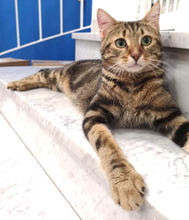 Adopter GRIBOUILLE dit CHARLIE, chat europeen male de 1 an