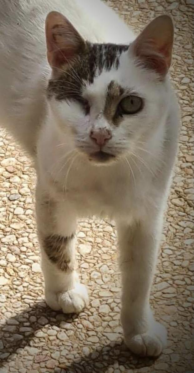 Adopter CHICAGO, chat europeen male de 6 ans